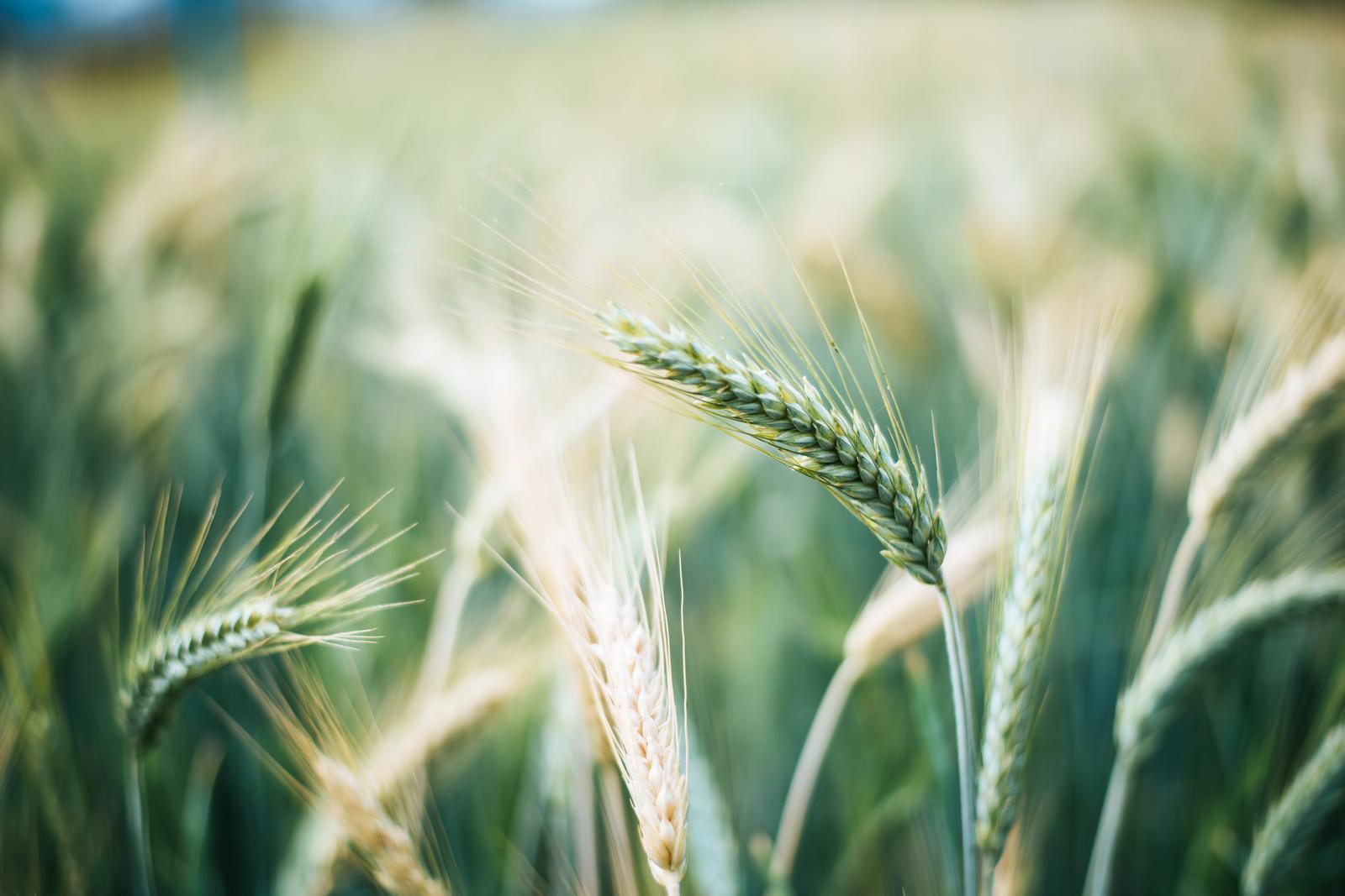 Growing of cereals (except rice), leguminous crops and oil seeds in Jõgeva