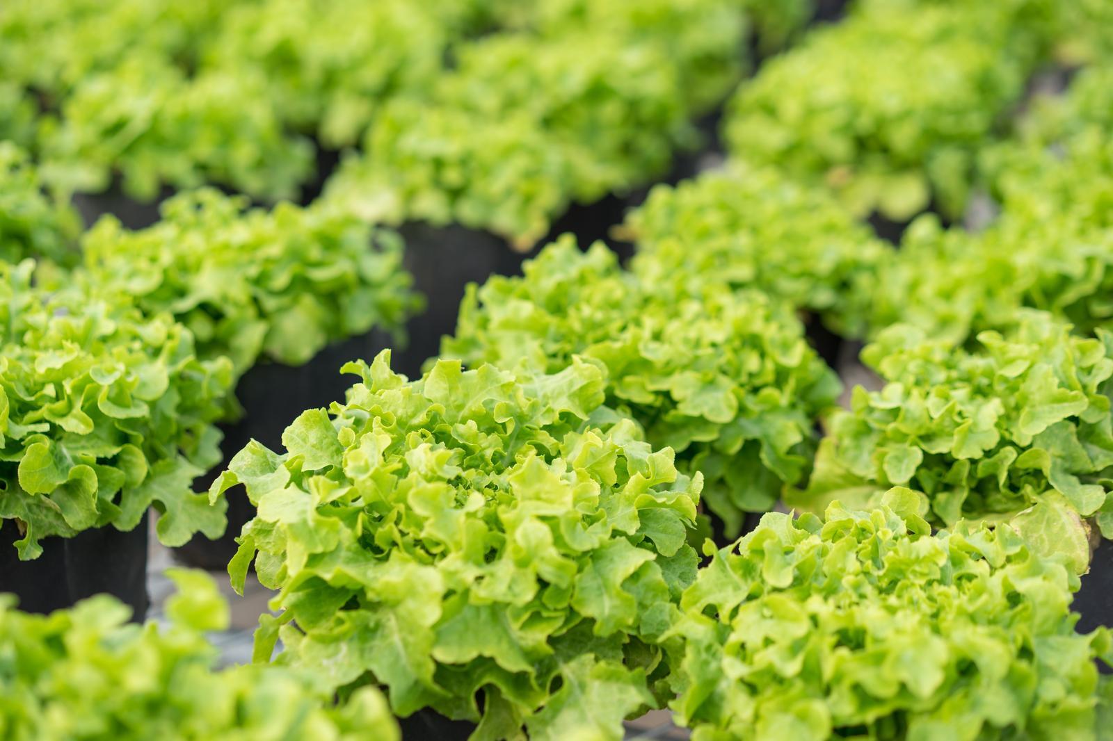 Köögivilja kasvatus Tartus