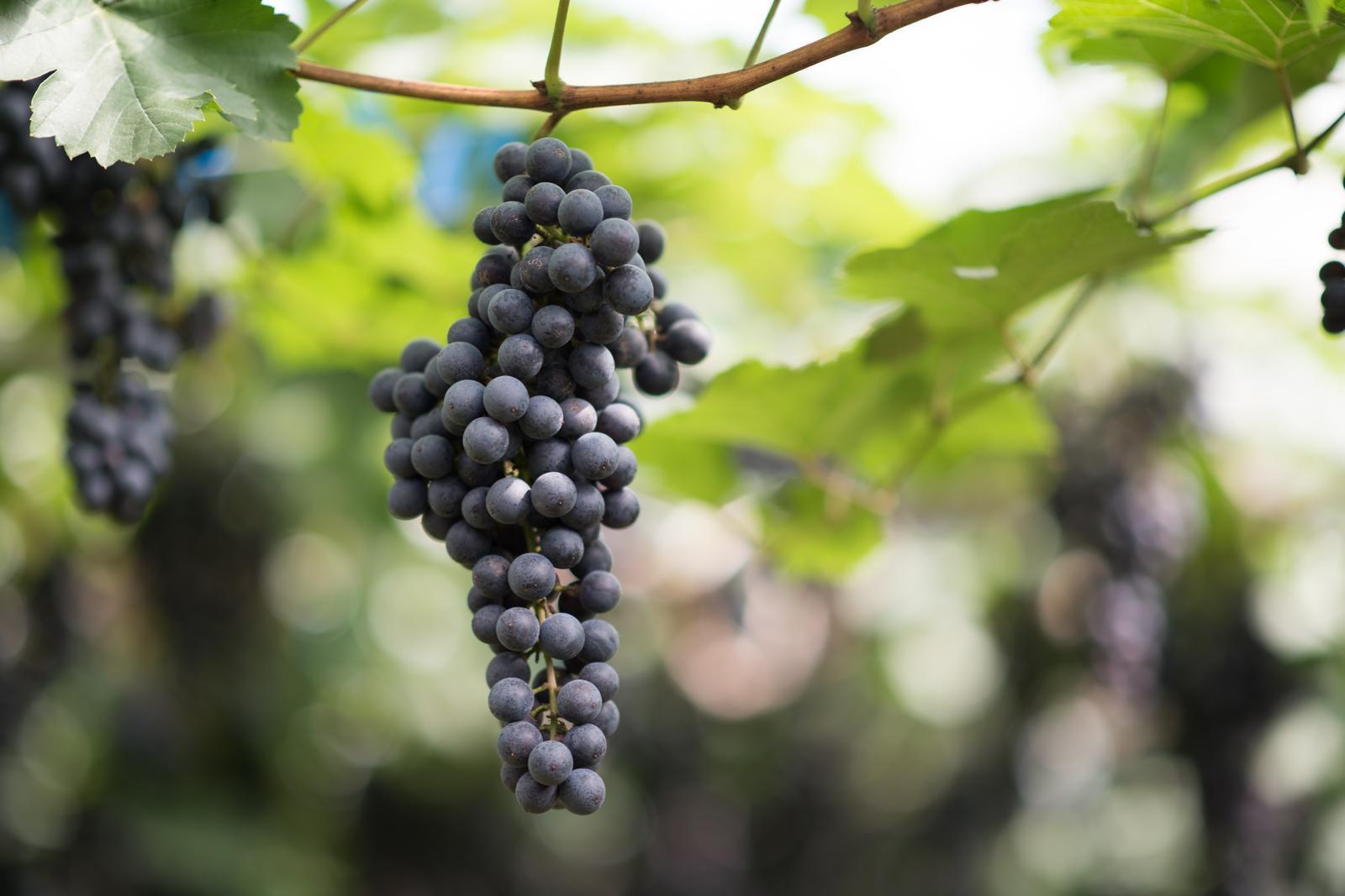 Growing of grapes in Viljandi county