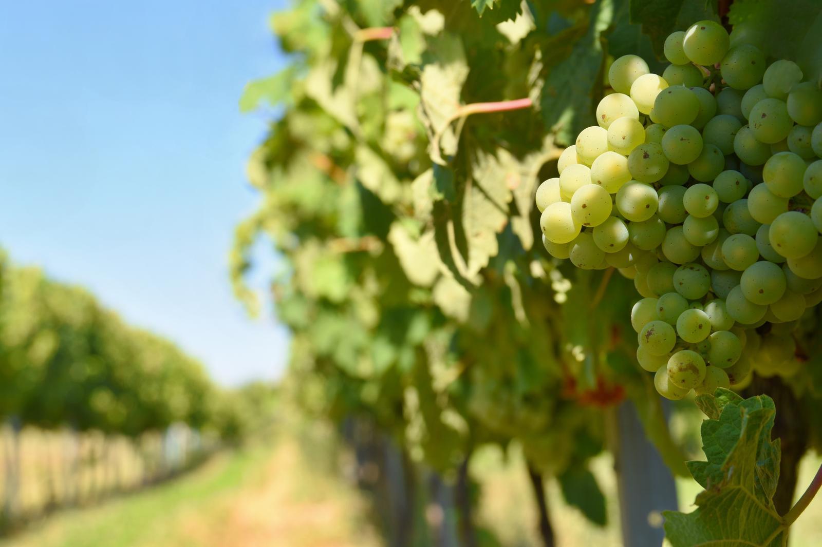 Viinamarjakasvatus Võrumaal