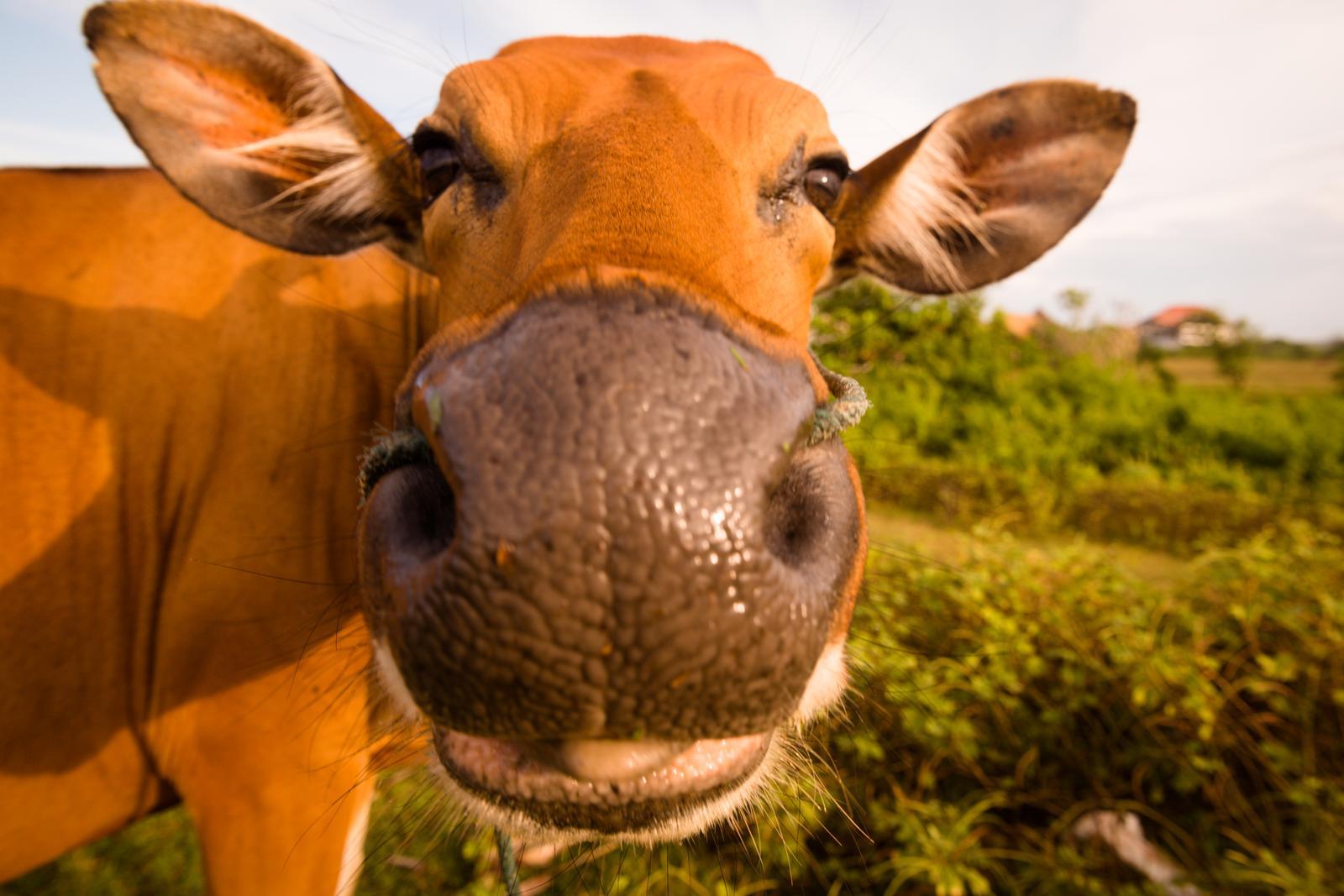 Piimakarjakasvatus Pärnumaal