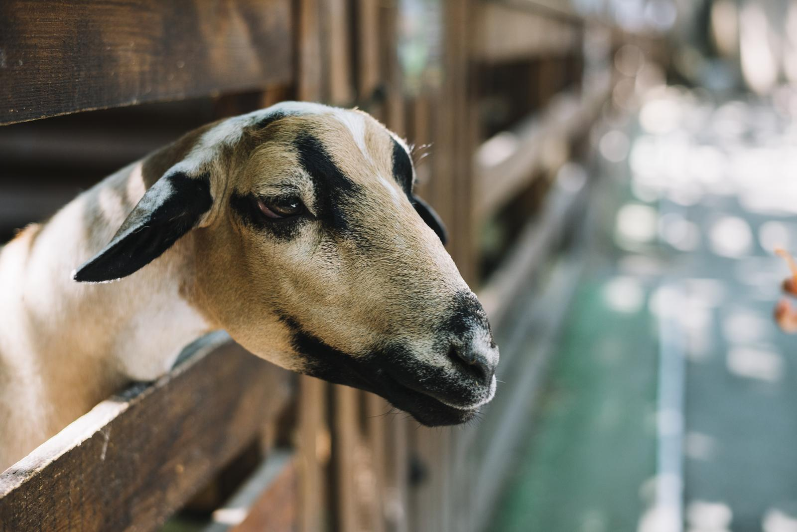 Raising of sheep and goats in Jõgeva county