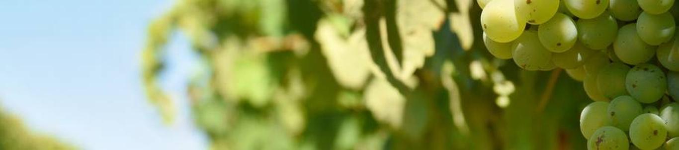 MULGIOTT OÜ alustas peaaegu 9 kuud tagasi, mil juhatuse liige Toomas T. selle asutas, kes alles alustas ettevõtlusega. MULGIOTT OÜ valdkond on viinamarjakasvatus. Samas valdkonnas (EMTAK 01211) on tegutsevaid