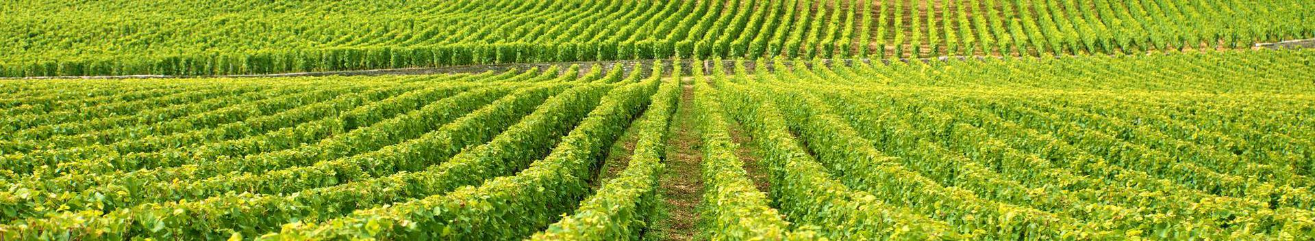 01211_viinamarjakasvatus_33911002_xl.jpg
