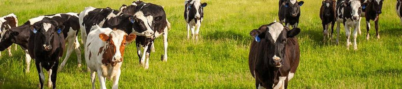 Piimakarjakasvatus